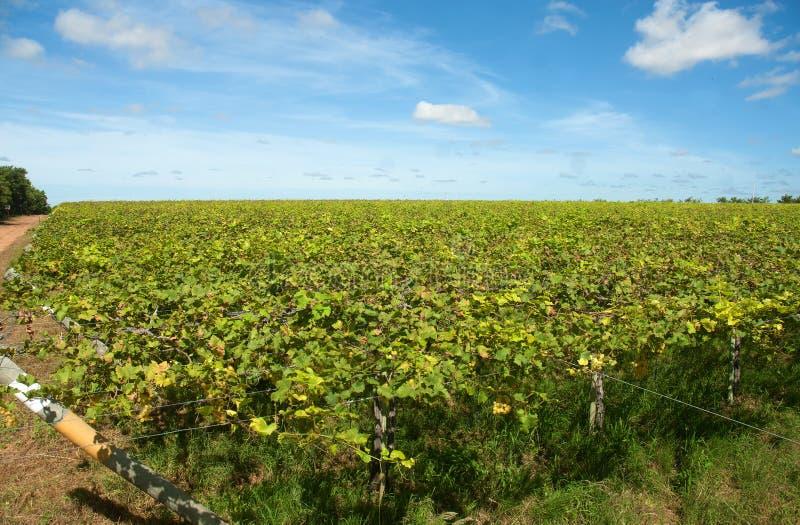 Plantation des raisins photo libre de droits