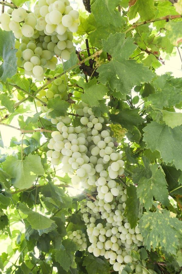 Plantation des raisins Vignoble Raisin d'usine photos libres de droits