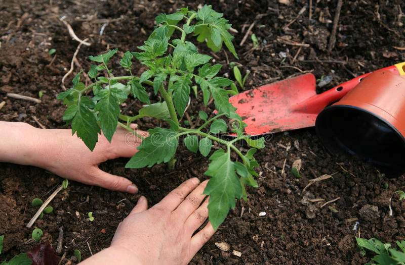 Plantation des tomates photo stock. Image du adulte ...