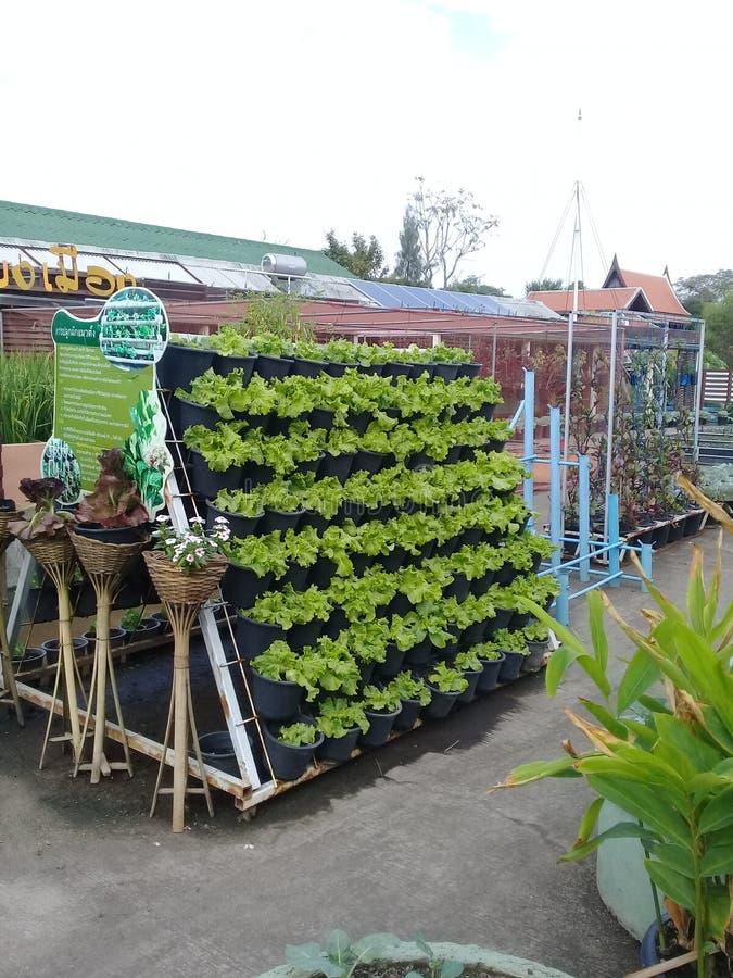 Plantation des tomates image libre de droits