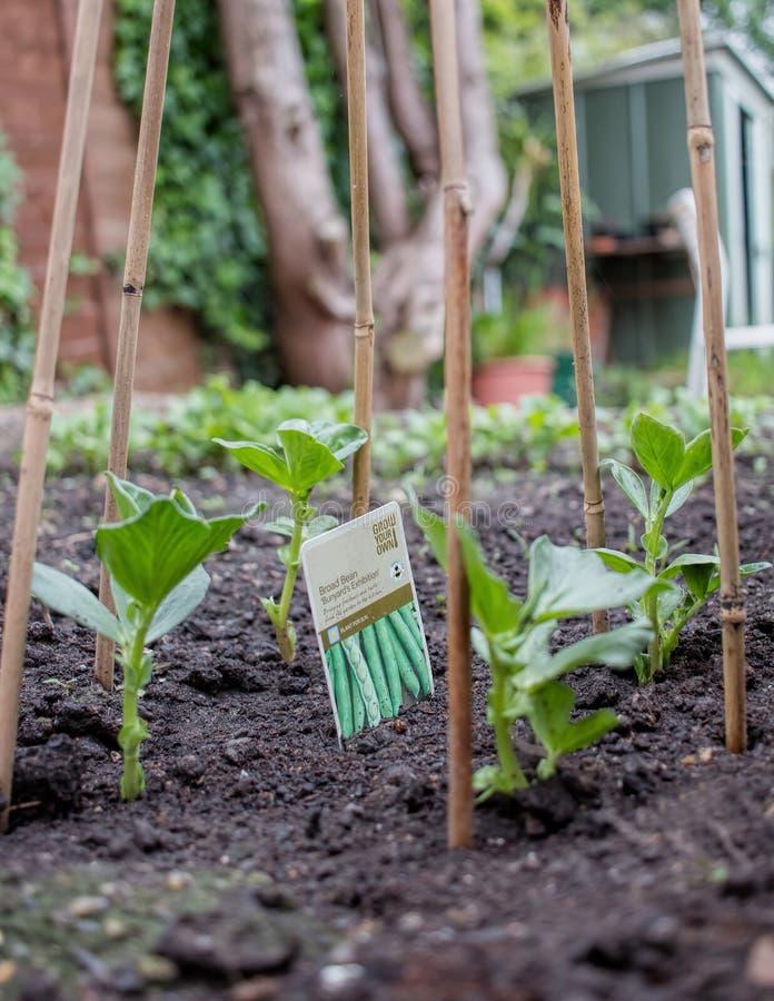 Plantation des tomates Fava/fèves s'élevant avec le cadre en bambou photos libres de droits
