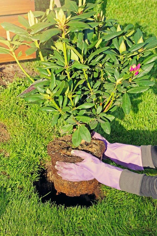 download plantation du buisson de rhododendron dans le jardin image stock image 54620157 - Planter Un Rhododendron Dans Votre Jardin