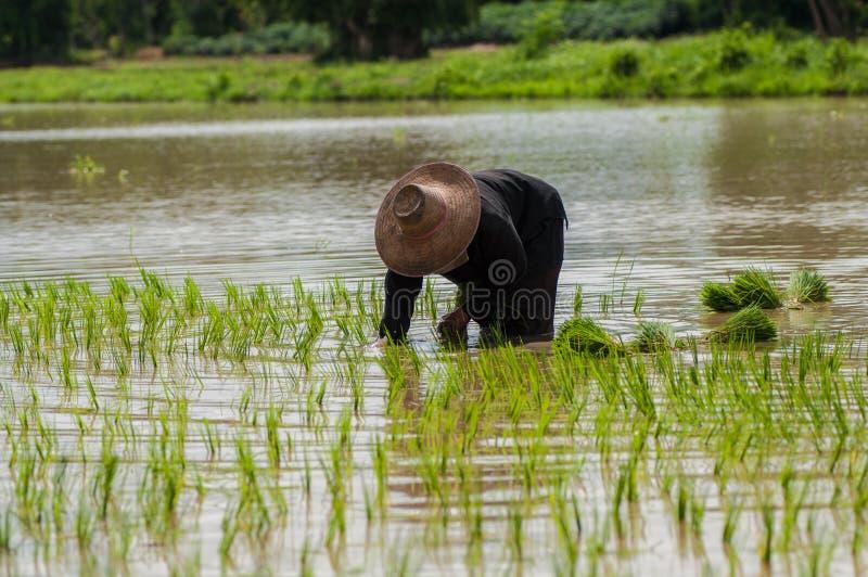 Plantation du riz image stock