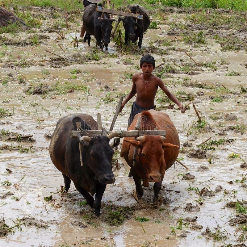 Plantation du riz au Népal image libre de droits