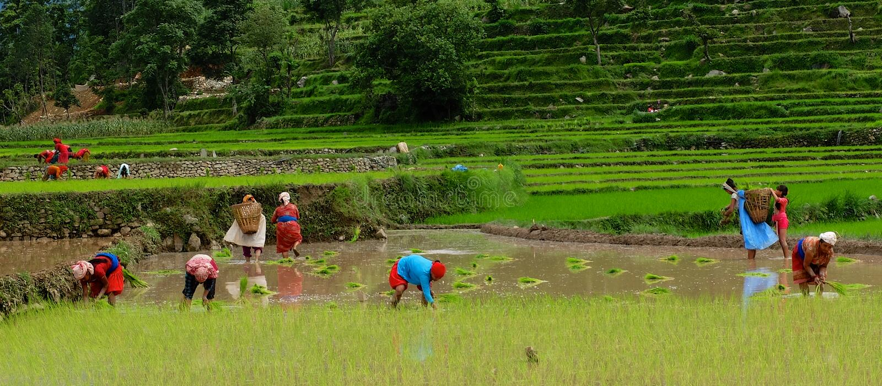 Plantation du riz au Népal photo stock