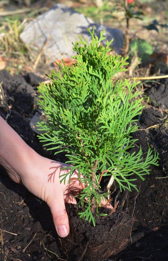 Plantation du Thuja Arbre de Hands Planting Cypress de jardinier, Thuja avec le Thuja Occidentalis de racines images libres de droits