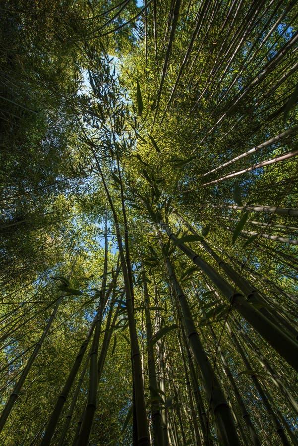 Plantation en bambou photo libre de droits