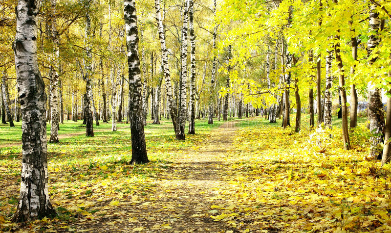 Plantation ensoleillée de bouleau d'automne en octobre photos stock