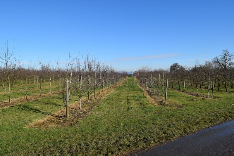 Plantation ensoleillée de pomme images libres de droits