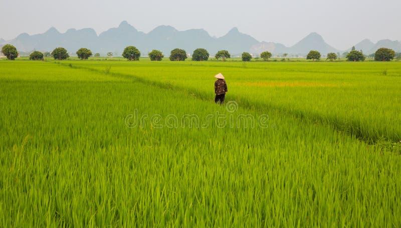 Plantation et homme de riz photographie stock