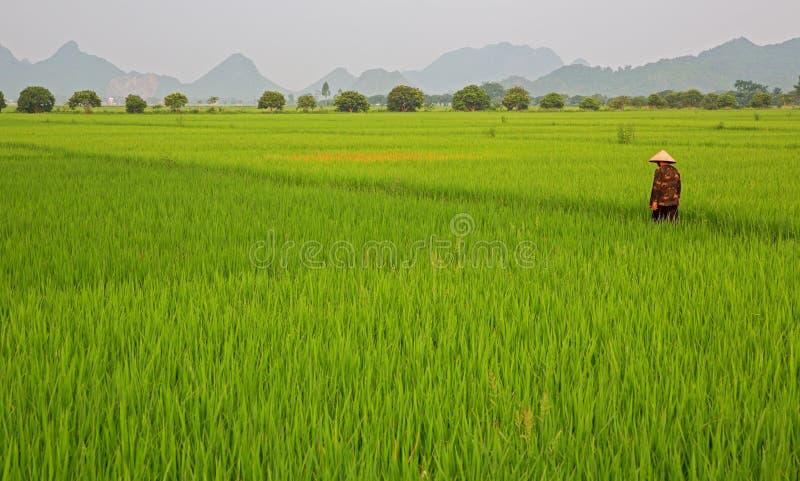 Plantation et homme de riz photos libres de droits