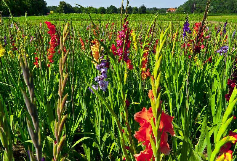 Plantation of gladioli stock images