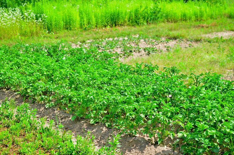Plantation with green bushes of bio potatoes growing in the ground. Vegetable bush potato plant growing in garden. Growing organic vegetables in the field stock images