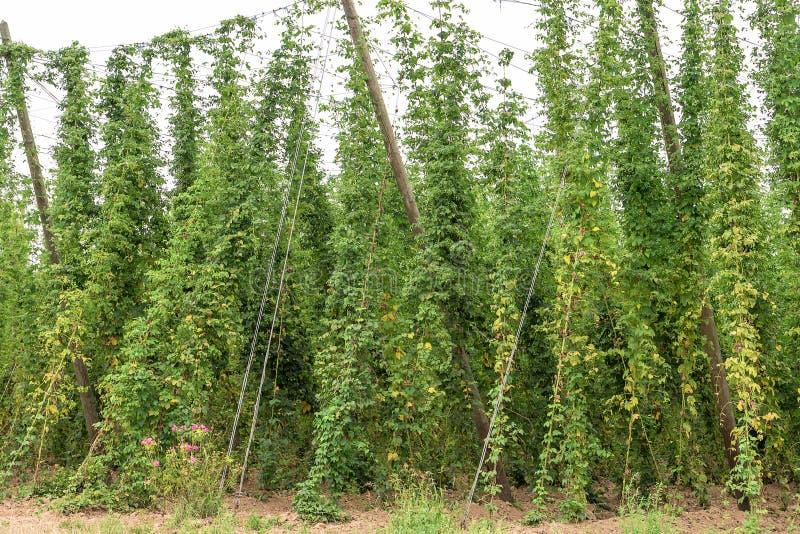 Plantation of hops royalty free stock image