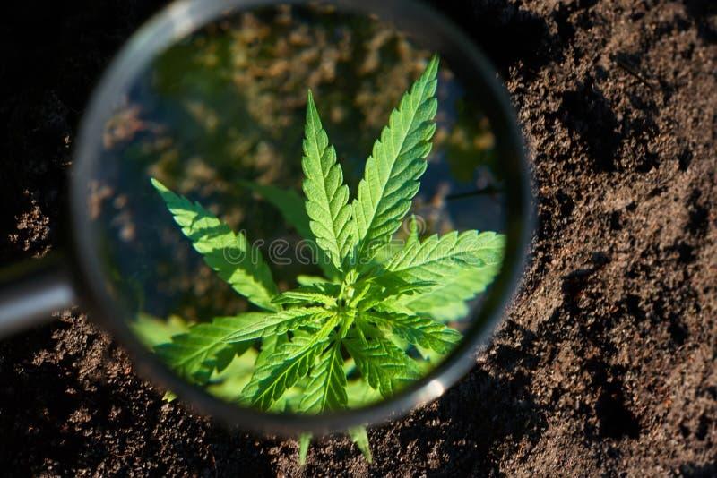 Plantation industrielle de chanvre Huile m?dicale du concept CBD de cannabis, extrait m?dical Le vert laisse l'usine de marijuana photographie stock libre de droits
