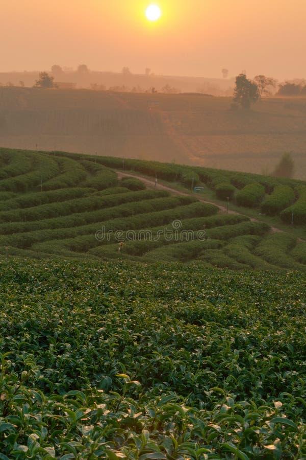 Plantation landscape at sunrise. stock images