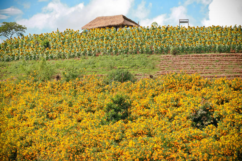 Plantation mexicaine de fleur du soleil dans Chaigmai, Thaïlande photographie stock