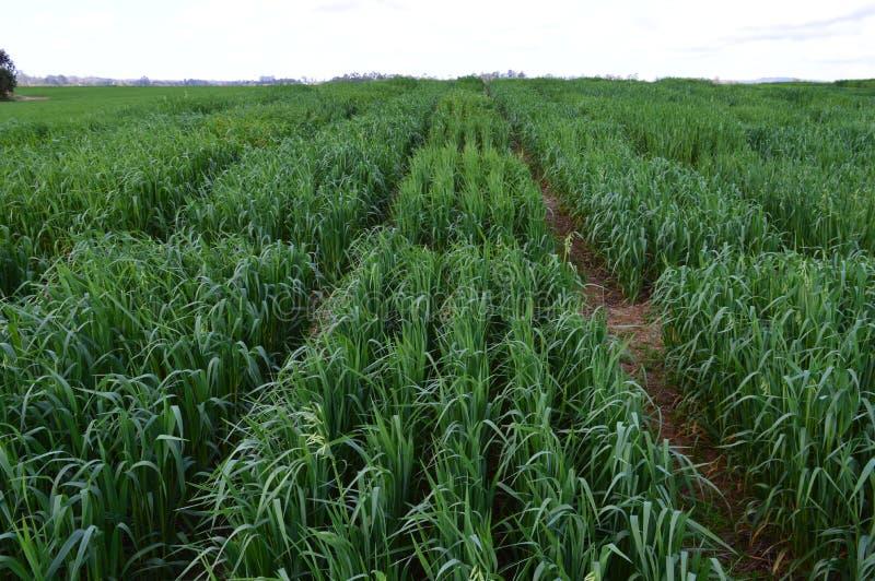 Oat plantation divided in plots stock photo