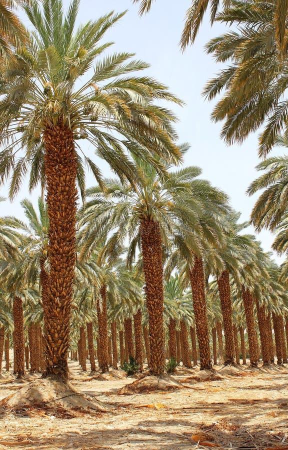 Free Plantation Of Date Palm At Kibbutz Ein Gedi, Israel Royalty Free Stock Photography - 41532537