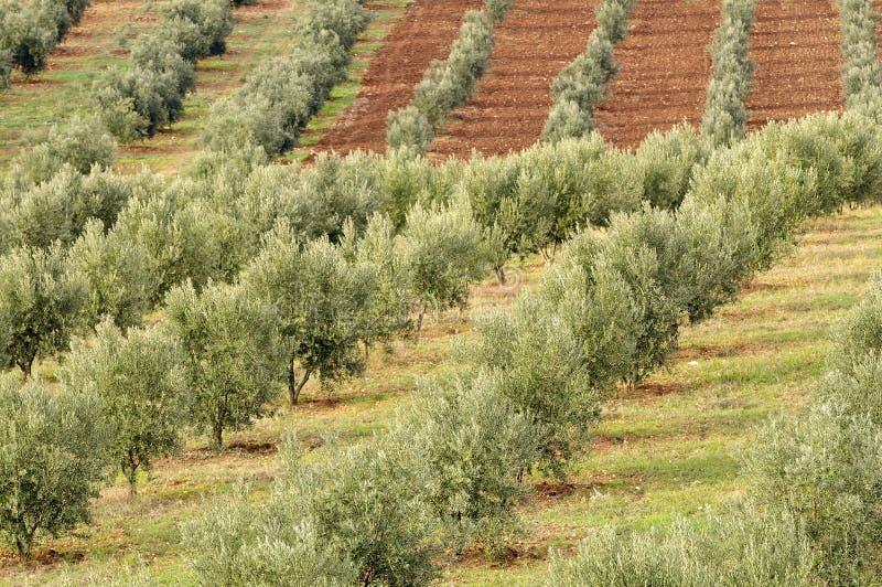 Plantation olive photographie stock libre de droits