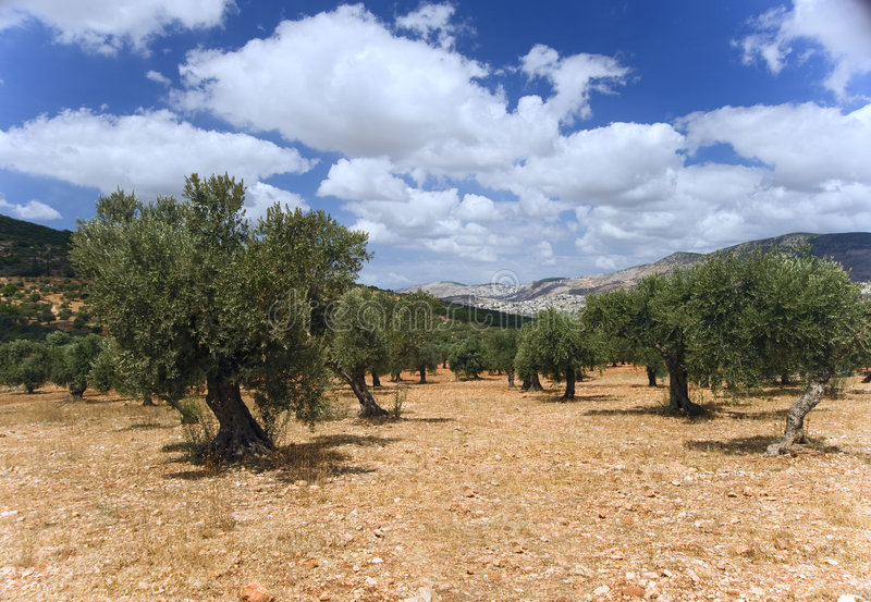 Plantation olive photo libre de droits