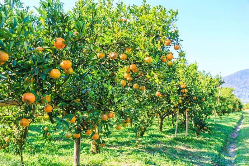 planter une orange