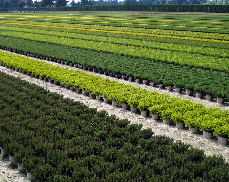Plantation of ornamental shrubs, and trees. Large plantation of ornamental shrubs, and trees in the nursery by breeders of ornamental plants stock images