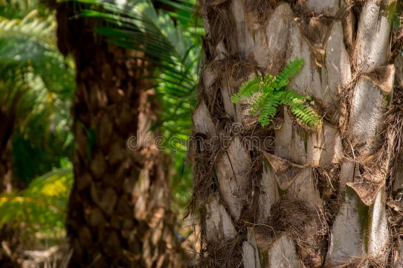 Plantation of palm oil tree in a farm stock photography