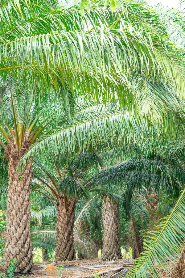 Plantation of palm oil tree royalty free stock images