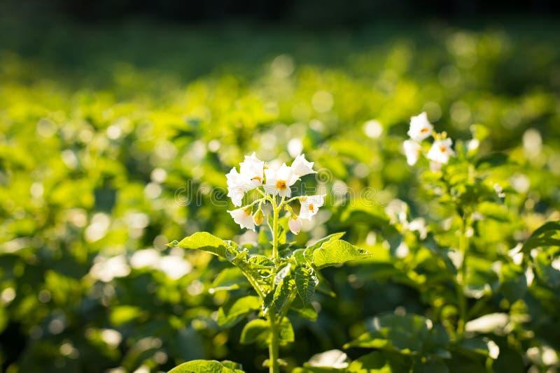 Plantation Of Potato Plant Growing On Field Potato. royalty free stock photo