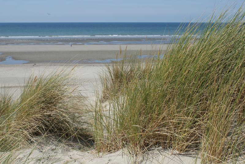 Plantation of sea oats  in the dune in front of a beautiful beac stock photo