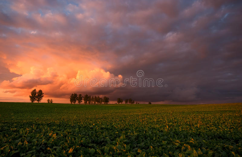 Plantation of sugar beet at the setting sun. royalty free stock images