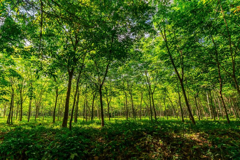 Plantation tree rubber or latex tree rubber in southern Thailand royalty free stock photo