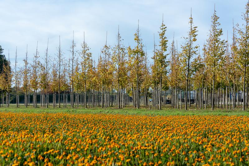 Plantation of trees on tree nursery in Netherlands, specialise in medium to very large sized trees and colorful flowerbed with. Tagetes flowers in autumn royalty free stock photos