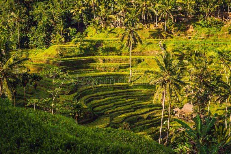 Plantation verte de gisement de riz de cascade à la terrasse de Tegalalang Bali, photos stock