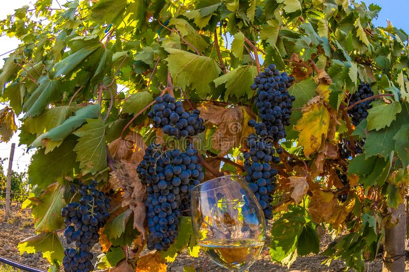 Vineyard. Plantation vineyard with ripe bunches of grapes, wineyard, europe, alcohol, industry, grapevine, leaf, tradition, travel, tourism, scenic, season royalty free stock photography
