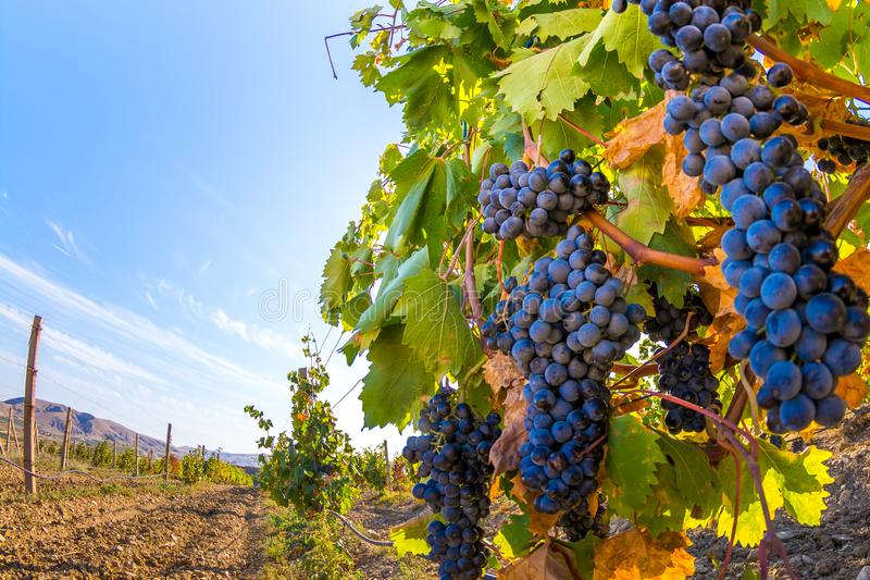 Vineyard. Plantation vineyard with ripe bunches of grapes, wineyard, europe, alcohol, industry, grapevine, leaf, tradition, travel, tourism, scenic, season stock photography