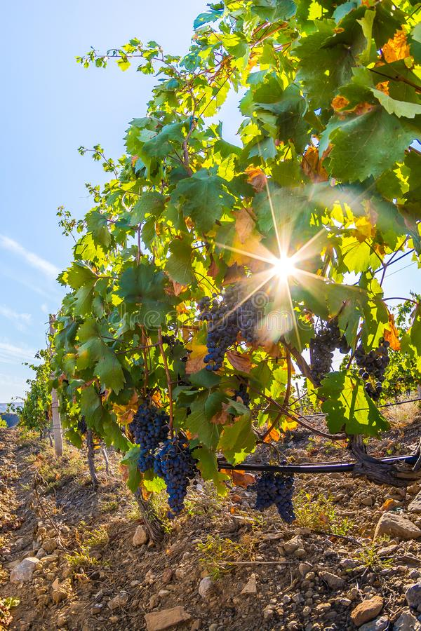 Vineyard. Plantation vineyard with ripe bunches of grapes, wineyard, europe, alcohol, industry, grapevine, leaf, tradition, travel, tourism, scenic, season royalty free stock photos