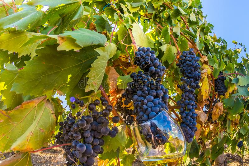 Vineyard. Plantation vineyard with ripe bunches of grapes, wineyard, europe, alcohol, industry, grapevine, leaf, tradition, travel, tourism, scenic, season royalty free stock image