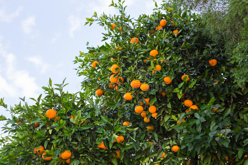 Plantations d'arbres oranges photos libres de droits