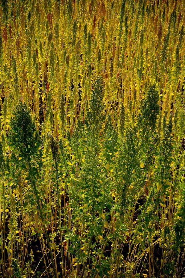 Plantations de quinoa dans Chimborazo, Equateur photo stock