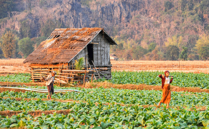 Plantations de tabac au village de l'interdiction Kong du Laos photos stock