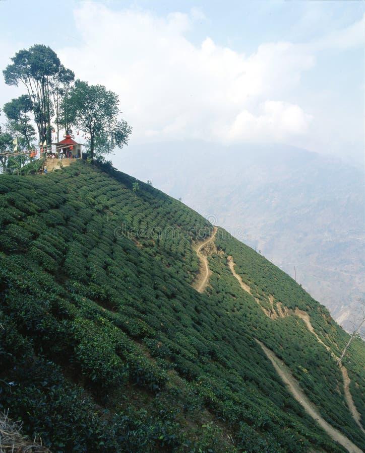 Plantations de thé 08 photo libre de droits