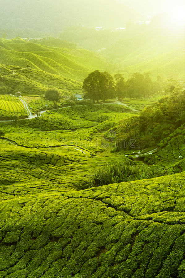 Plantations de thé image stock