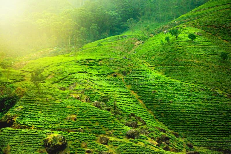 plantations de thé photographie stock libre de droits