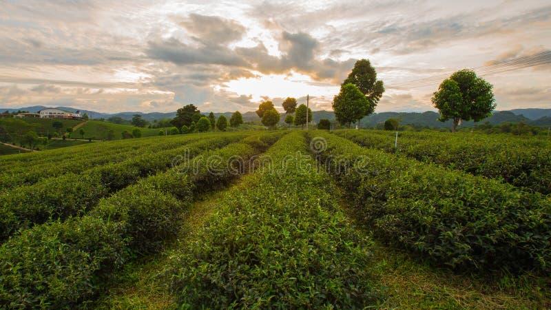 Plantations de thé aux montagnes de ChangRai, Thaïlande photos libres de droits