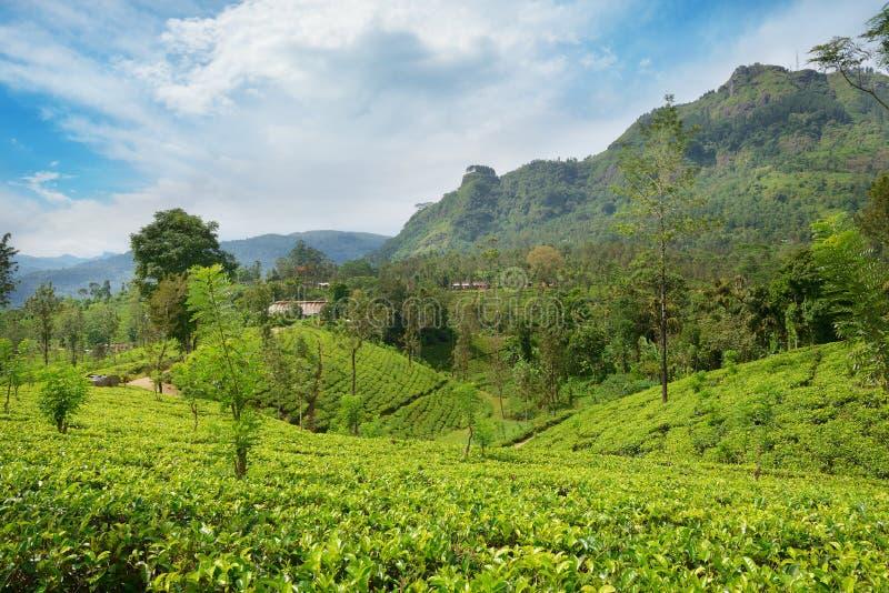 Plantations de thé dans les montagnes pittoresques photo stock