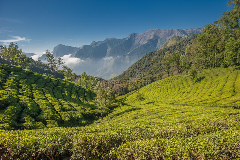 Plantations de thé dans Munnar, Kerala, Inde photos stock