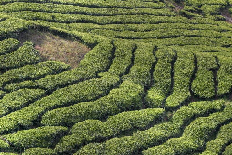 Plantations de thé de Cameron images libres de droits