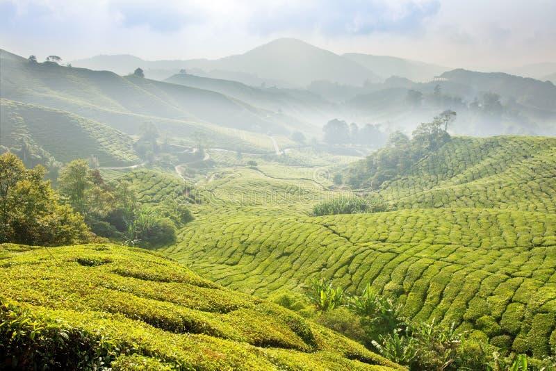 Plantations de thé en Malaisie. image libre de droits